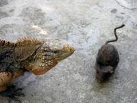 Rat_and_the_iguana_22_february_2008