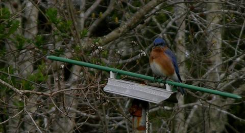 Bluebird_14_march_2008