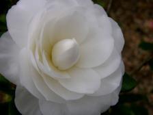 Camellia_japonica_sea_foam_i_15_mar