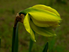 Daffodil_i_just_opening_15_march_20