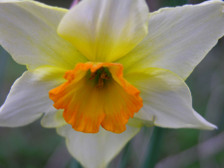 Daffodil_ii_15_march_2008