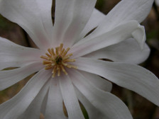 Star_magnolia_15_march_2008_2