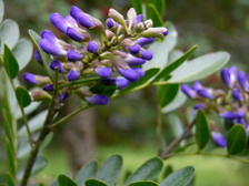 Texas_mountain_laurel_15_march_2008
