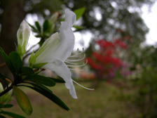 White_formosa_azalea_15_march_2008
