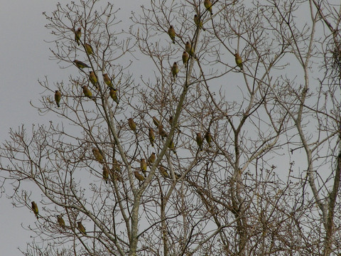 Cedar_waxwings_19_march_2008