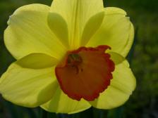 Daffodil_ii_20_march_2008_2