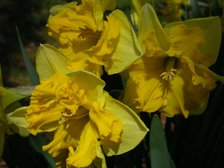 Easter_daffodil_i_23_march_2008
