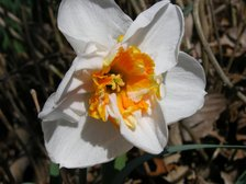 Easter_daffodil_ii_23_march_2008