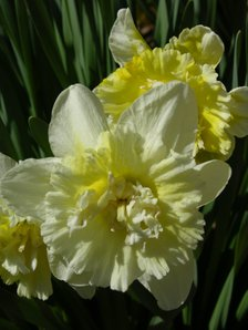 Easter_daffodil_v_23_march_2008