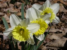 Easter_daffodil_vi_23_march_2008
