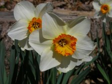 Easter_daffodil_vii_23_march_2008