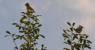 Cedar_waxwings_29_march_2008_2