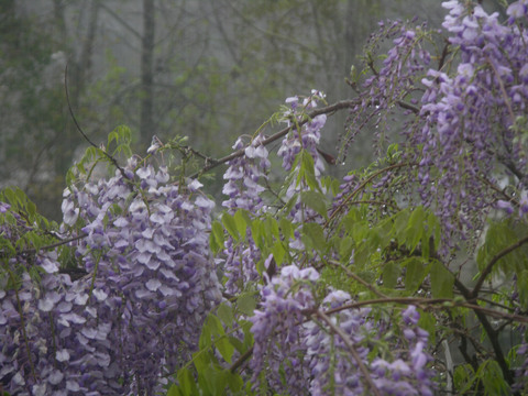 Wisteria_in_the_rain_31_march_2008