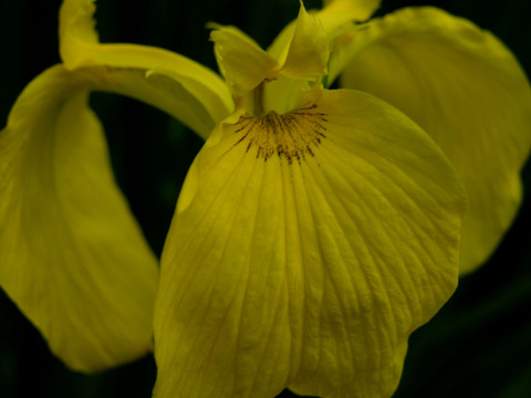 Louisiana_iris_14_april_2008_2