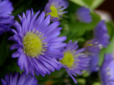 Asters_16_april_2008_2