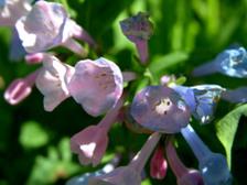 Bluebells_16_april_2008