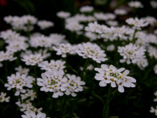 Candytuft_16_april_2008