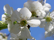 Cherry_tree_16_april_2008