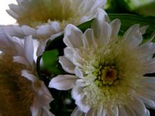 Chrysanthemums_16_april_2008