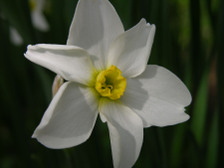 Daffodil_i_16_april_2008