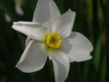 Daffodil_i_16_april_2008