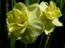Daffodil_ii_16_april_2008