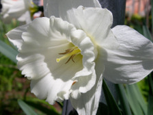 Daffodil_iii_16_april_2008