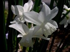 Daffodil_v_16_april_2008_2
