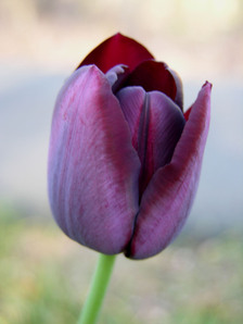 Deep_red_tulips_in_front_border_g_2