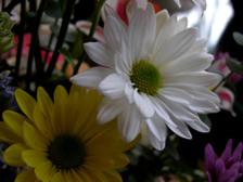 Diasies_16_april_2008