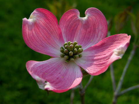 Mom_and_dads_pink_dogwood_16_april_