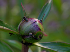 Peony_buds_with_ants_of_course_16_a