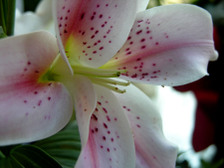 Stargazer_lily_16_april_2008