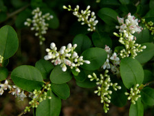 Chinese_privet_4_may_2008