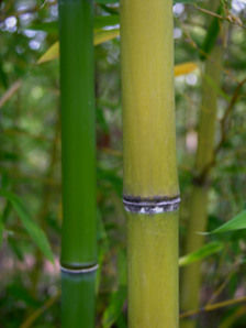 Golden_bamboo_4_may_2008