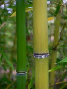 Golden_bamboo_4_may_2008
