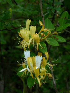 Honeysuckle_4_may_2008