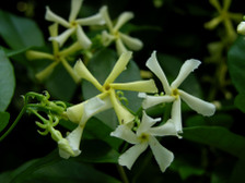 Confederate_jasmine_15_may_2008
