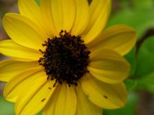 Dune_sunflower_15_may_2008