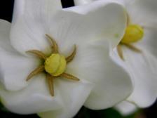 Gardenia_jasminoides_kleims_hardy_1
