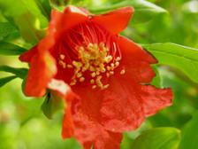 Pomegranate_15_may_2008