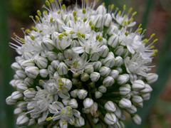 Red_onion_flowers_24_may_2008