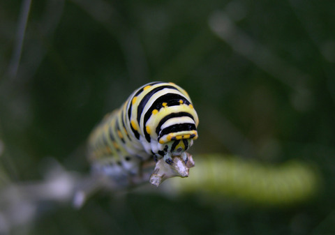 Black_swallowtail_caterpillar_28_ma