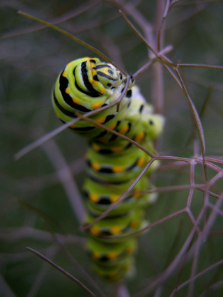 Black_swallowtail_caterpillar_i_28_