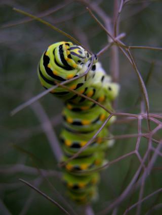 Black_swallowtail_caterpillar_i_28_