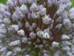 Elephant_garlic_flower_head_28_may_