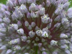 Elephant_garlic_flower_head_28_may_