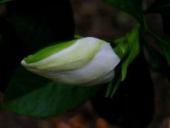 Gardenia_bud_28_may_2008