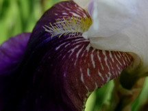 Moms_iris_ii_1_june_2008_4