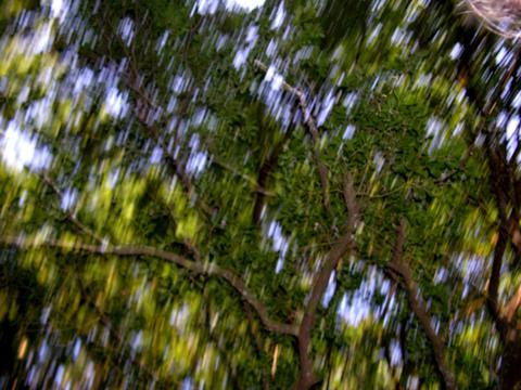 Live_oak_canopy_blurry_7_june_200_2